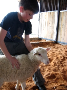 Linda's son gently handles young lamb in barn