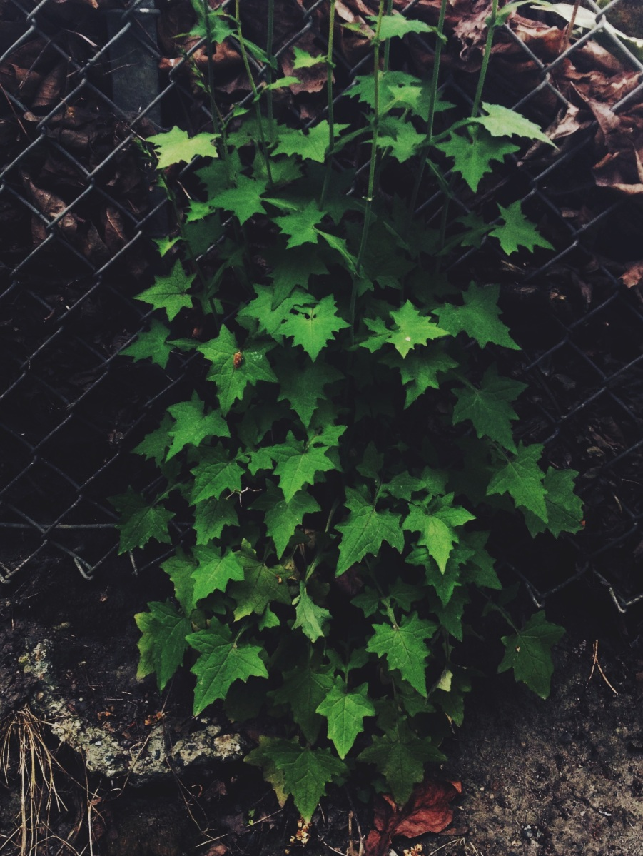 9b - Wall Lettuce