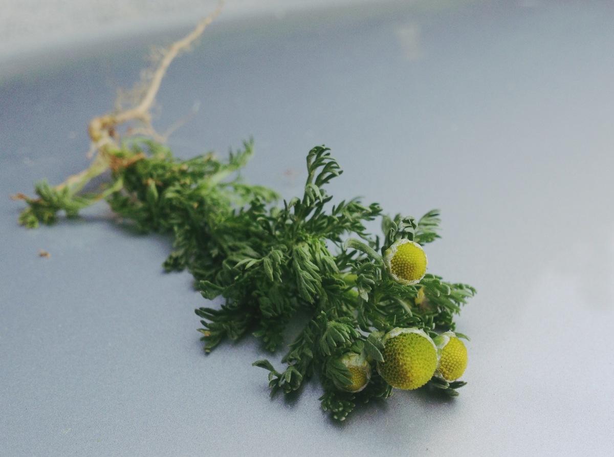 9c - pineapple weed